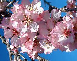 Poudre de Plante médicinale d'Amandier (fruit) BIO