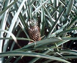 Poudre de Plante médicinale d'Ananas (tige), Ananas comosus