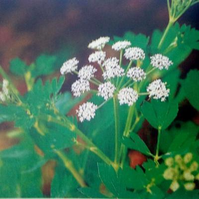 PLANTE MÉDICINALE d'Aneth (semence), Anethum graveolens