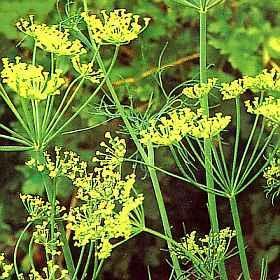 Poudre de Plante médicinale d'Aneth (feuille) , Anethum graveolens