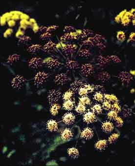 Poudre de Plante médicinale d'Angélique (feuille), Angelica archangelica