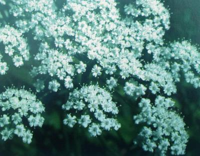 PLANTE MÉDICINALE d'Anis vert (semence), Pimpinella anisim