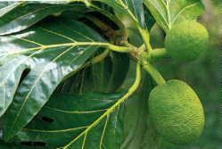 HUILE VÉGÉTALE d'Arbre à pain, (Artocarpus altilis) BIO