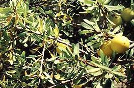 Capsules argan (gélules)