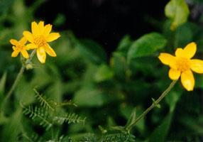 PLANTE MÉDICINALE d'Arnica montana (fleur), Arnica montana