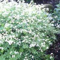 Poudre de Plante médicinale D'Aspérule odorant, Asperula odorata