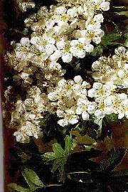 PLANTE MÉDICINALE d'Aubépine (fleur), Crataegus oxyacanta