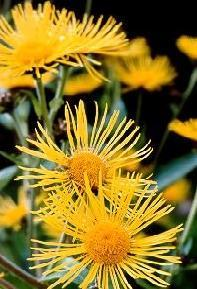 Poudre de Plante médicinale D'Aunée (racine), Inula helenium