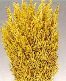 Poudre de Plante médicinale D'Avoine (graine), Avena sativa