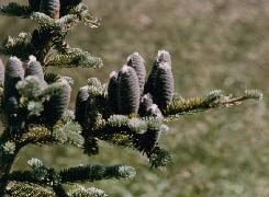 HUILE ESSENTIELLE de Sapin baumier (Abies balsamea)