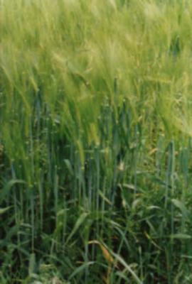 GÉLULES de Germe de blé (300 mg), Triticum sativus