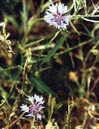 Poudre de Plante médicinale de Bleuet pétale, Centaurea cyanus