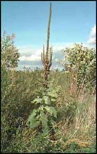 PLANTE MÉDICINALE de Bouillon blanc (plante), Verbascum thapsus