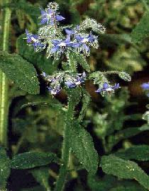 Poudre de Plante médicinale de Bourrache (sommité), Borrago officinalis