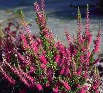 Poudre de Plante médicinale de Bruyère (sommité), Calluna vulgaris