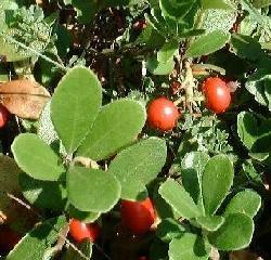 PLANTE MÉDICINALE de Busserole (feuille), Arctostaphylos uva-ursi
