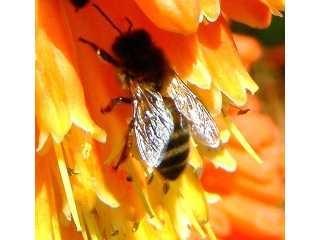 GÉLULES de Pollen (300 mg) BIO