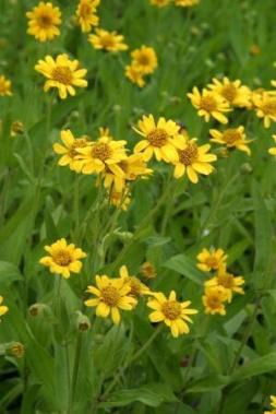 PLANTE MÉDICINALE d'Arnica chamissonis (plante), Arnica chamissonis