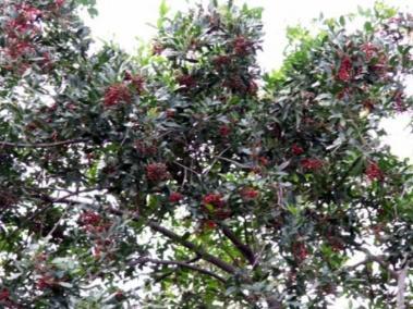 PLANTE MÉDICINALE de Baie rose (fruit)
