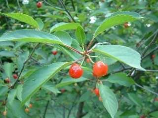 PLANTE MÉDICINALE de Cerise (queue coupée), Prunus cerasus