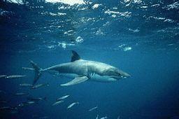 GÉLULES de Cartilage de requin (400 mg)