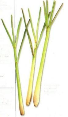 PLANTE MÉDICINALE de Citronnelle (plante), Cymbopogon nardus