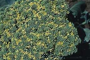 Plante médicinale de Clous de girofle (bouton floral), Caryophyllus aromaticus