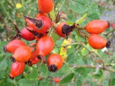 Plante médicinale de Cynorrhodon (baie),  Rosa canina