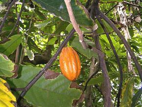 Poudre de Plante médicinale de Cacao fève, Theobroma cacao