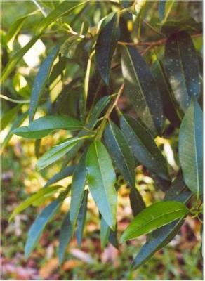 PLANTE MÉDICINALE de Cannelle ceylan, Cinnamomum verum BIO