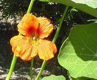 PLANTE MÉDICINALE de Capucine (plante), Tropaleolum majus