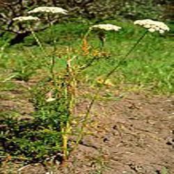 HUILE ESSENTIELLE de Carotte (Daucus carota)