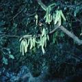 PLANTE MÉDICINALE de Caroube (fruit), Ceratonia siliqua BIO