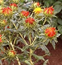 GÉLULES de Carthame 220 mg, (Carthamus tinctorius)
