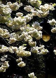 Poudre de Plante médicinale de Cerise (queue), Prunus cerasus