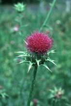 GÉLULES de Chardon marie 250 mg, (Sylibum marianum)