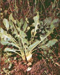 Poudre de Plante médicinale de Chicorée (feuille), Cichorium intybus