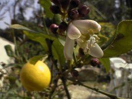 Poudre de Plante médicinale de Citronnier (fruit écorce), Citrus medica