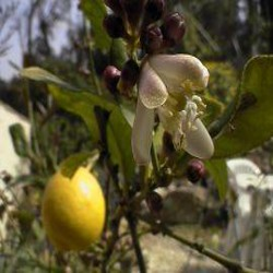 Citronnier 4