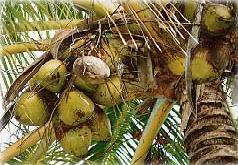 Plante médicinale de Cocotier (fruit rapé), Cocos nucifera