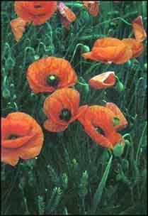 Plante médicinale de Coquelicot (pétale), Papaver rhoeas