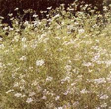 Plante médicinale de Coriandre (semence), Coriandrum sativum