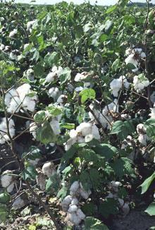 HUILE VÉGÉTALE de Coton (Gossypium herbaceum)