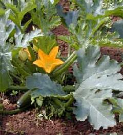 Plante médicinale de Courge (semence), Cucurbita pepo