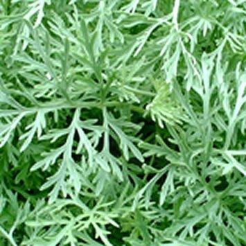 HUILE ESSENTIELLE de Davana (Artemisia pallens)