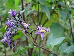 GÉLULES de Douce amère (205 mg), Solanum dulcamara