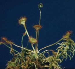 Gélules de Drosera, Drosera rotundifolia