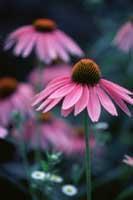 Plante médicinale de Echinacéa (racine), Echinacea angustifolia BIO