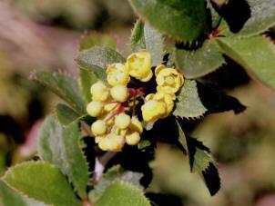 Gélules d' Epine vinette, Berberis vulgaris