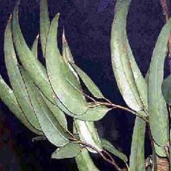 HUILE ESSENTIELLE d'Eucalyptus de chine BIO